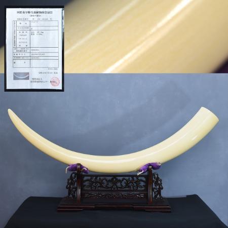 本象牙一本 全長 107cm 9.1kg 登録票付き